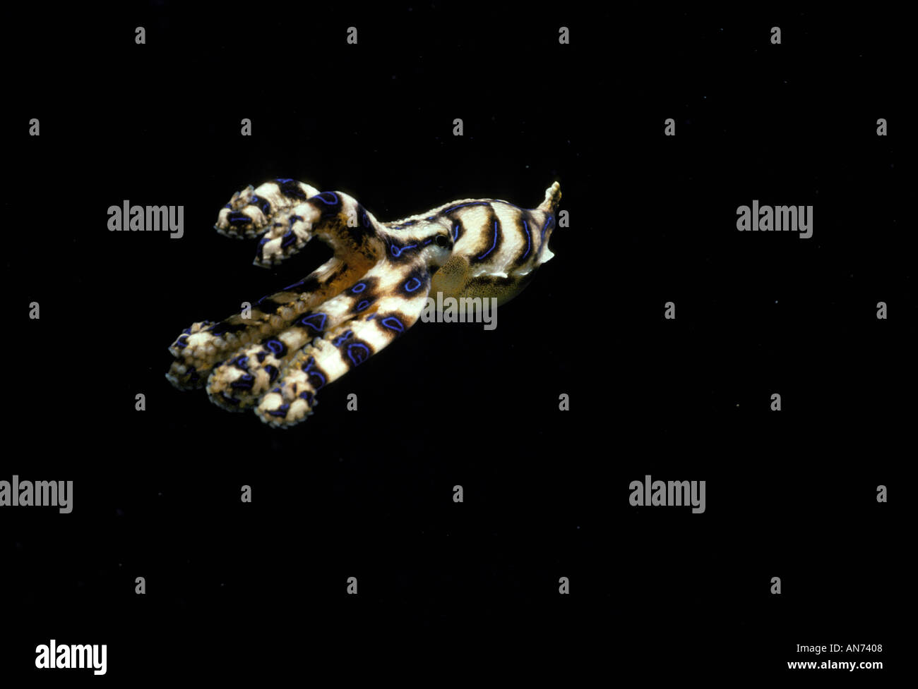 Poisonous Blue Ringed Octopus jets away - Stock Image
