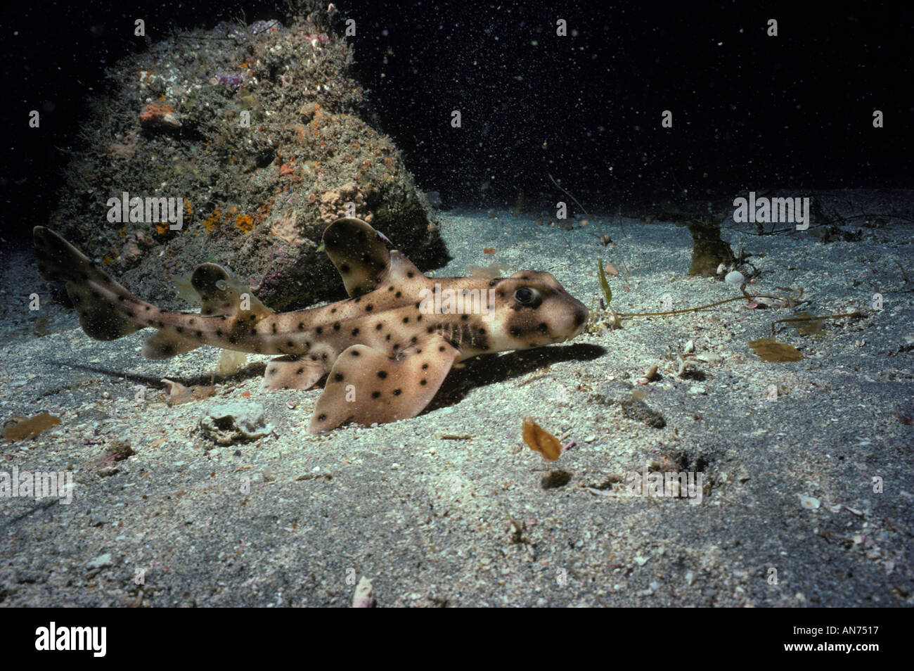 California Hornshark on sandy bottom - Stock Image