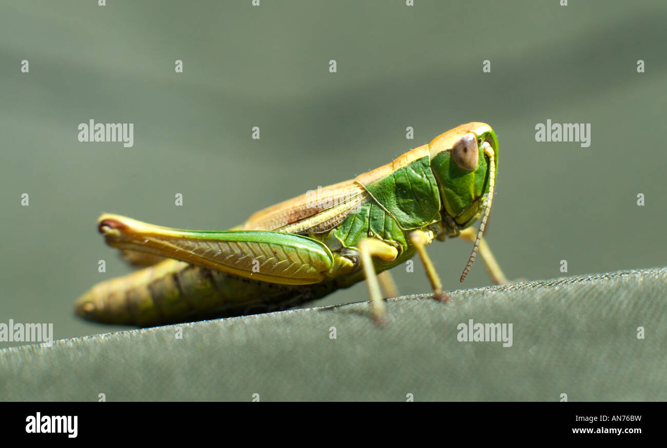 Green grasshopper on Oldwood Common in Worcestershire - Stock Image