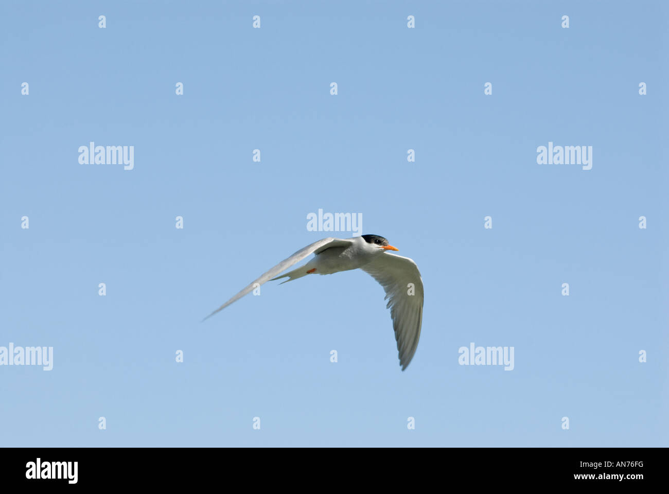 Black-Fronted Tern Sterna albostriata [Laridae] over the Ahuriri River - Stock Image