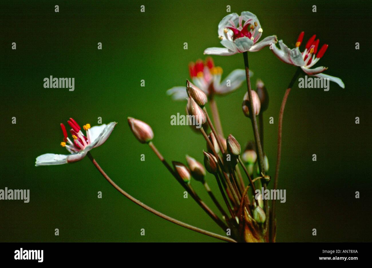butomus umbellatus butomaceae jonc fleuri Stock Photo