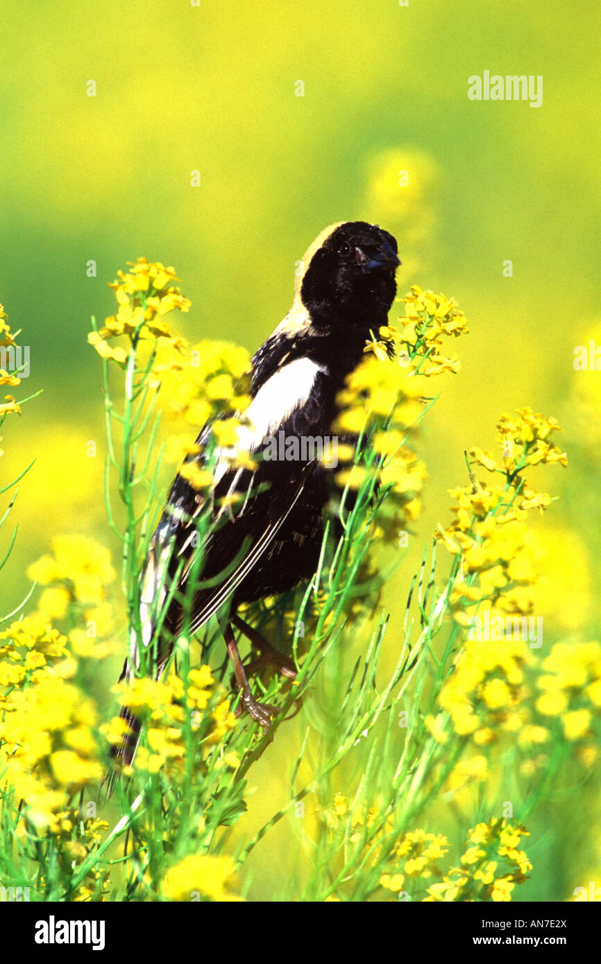 Bobolink Perched in Mustard Wildflower Blossoms - Vertical - Stock Image