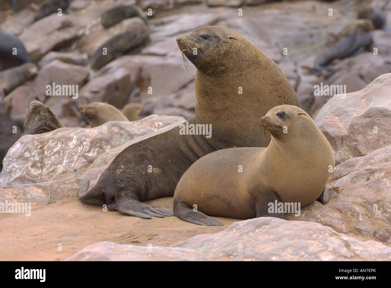 Cape fur seal Arctocephalus pusillus adult male and female at Cape Cross Namibia November - Stock Image