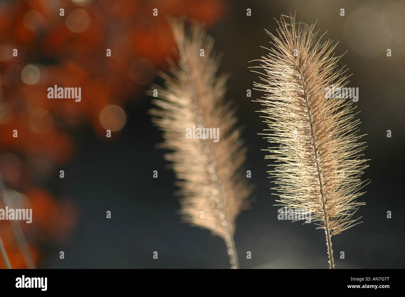 Teasel flowers in autumn - against blurred background - Stock Image