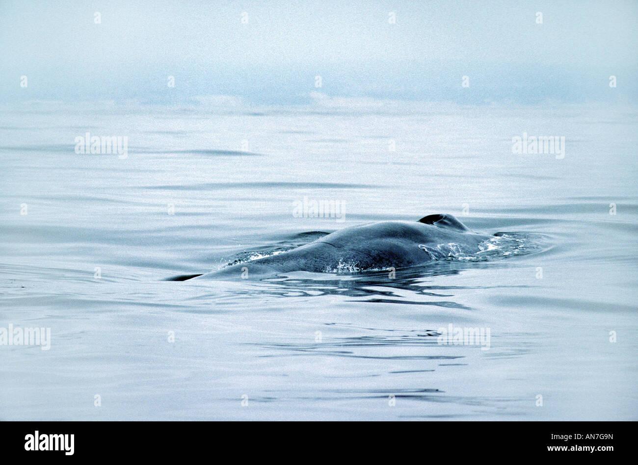 Blue Whale Balaenoptera musculus Monterey California United States June Adult Balaenopteridae - Stock Image