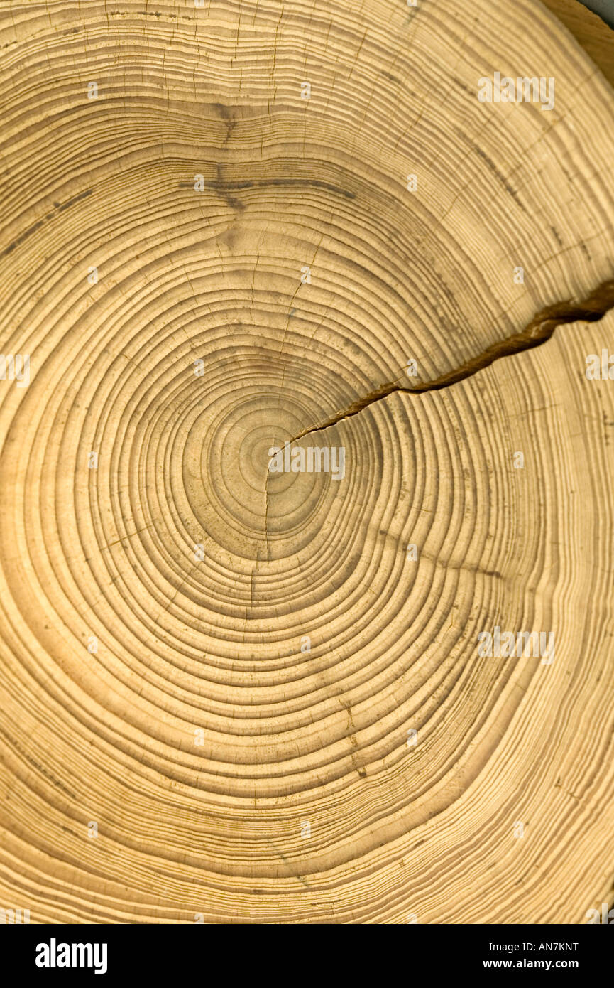 A cross section cut off a log to show the yearly growth rings of this tree with crack. - Stock Image