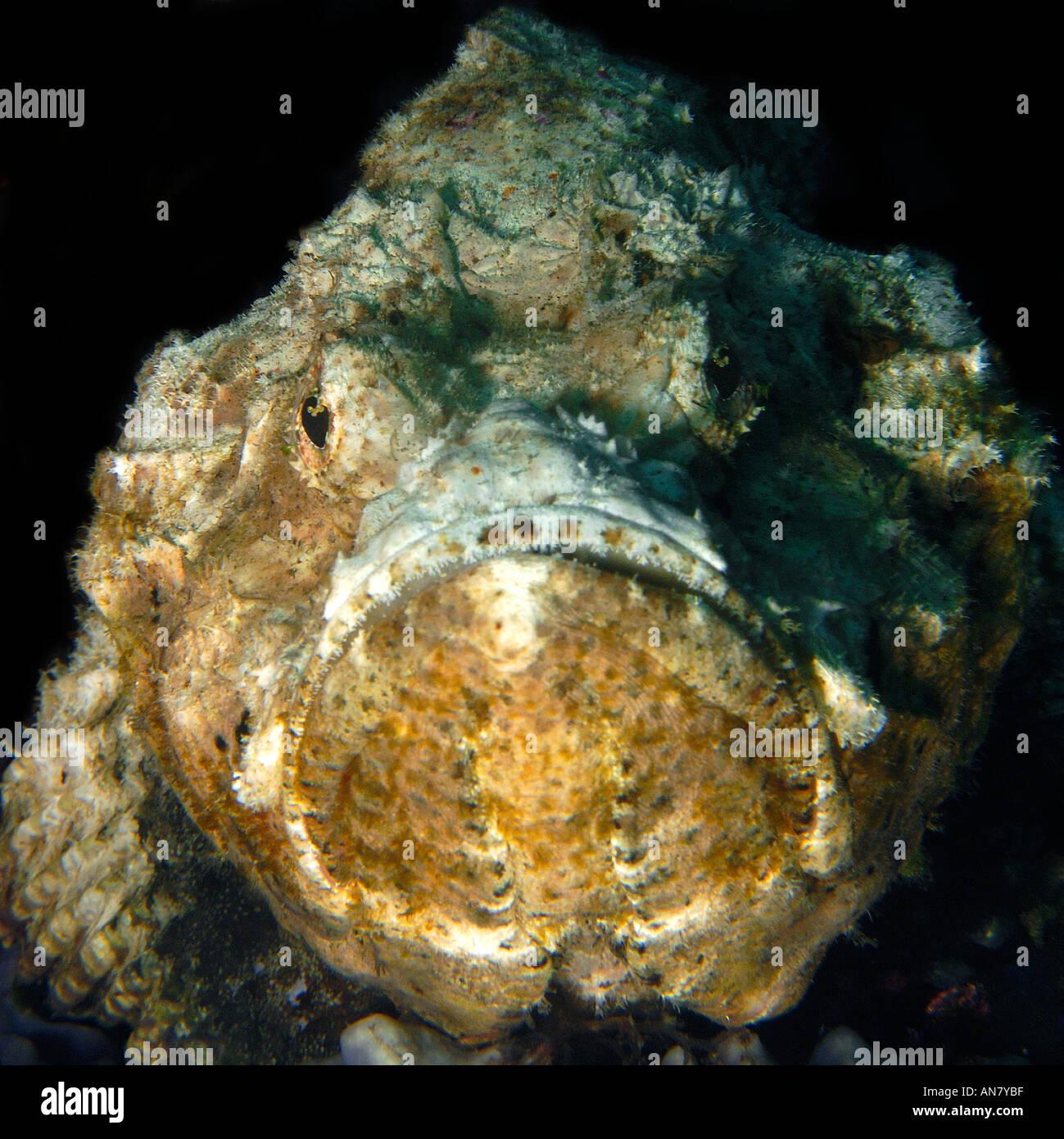 Devil scorpionfish Scorpaenopsis diabolus head detail Dauin Negros Philippines - Stock Image