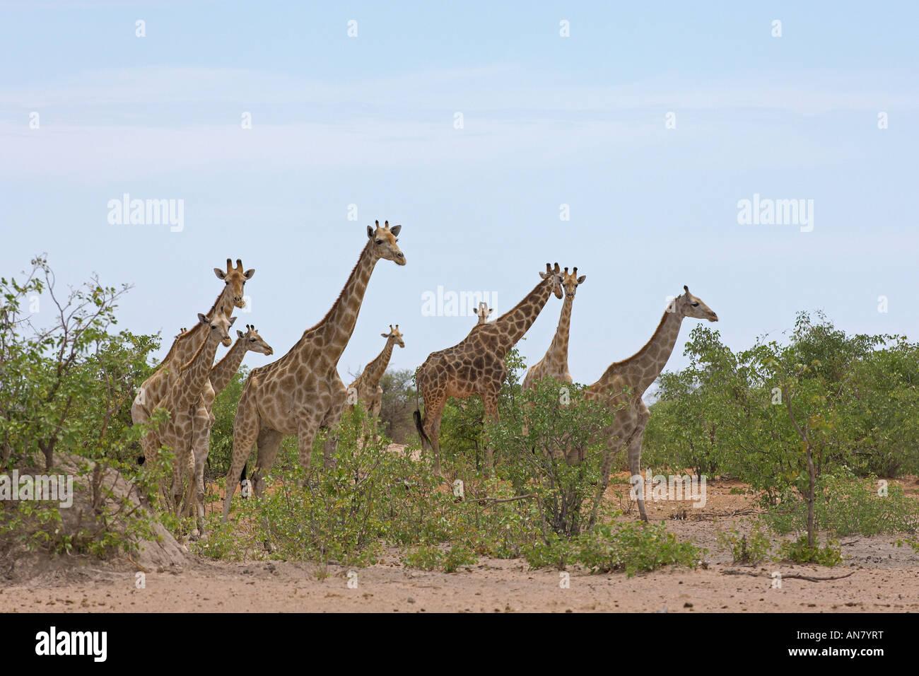 Southern giraffe Giraffa camelopardalis giraffa herd in mopane woodland Etosha National Park Namibia November - Stock Image