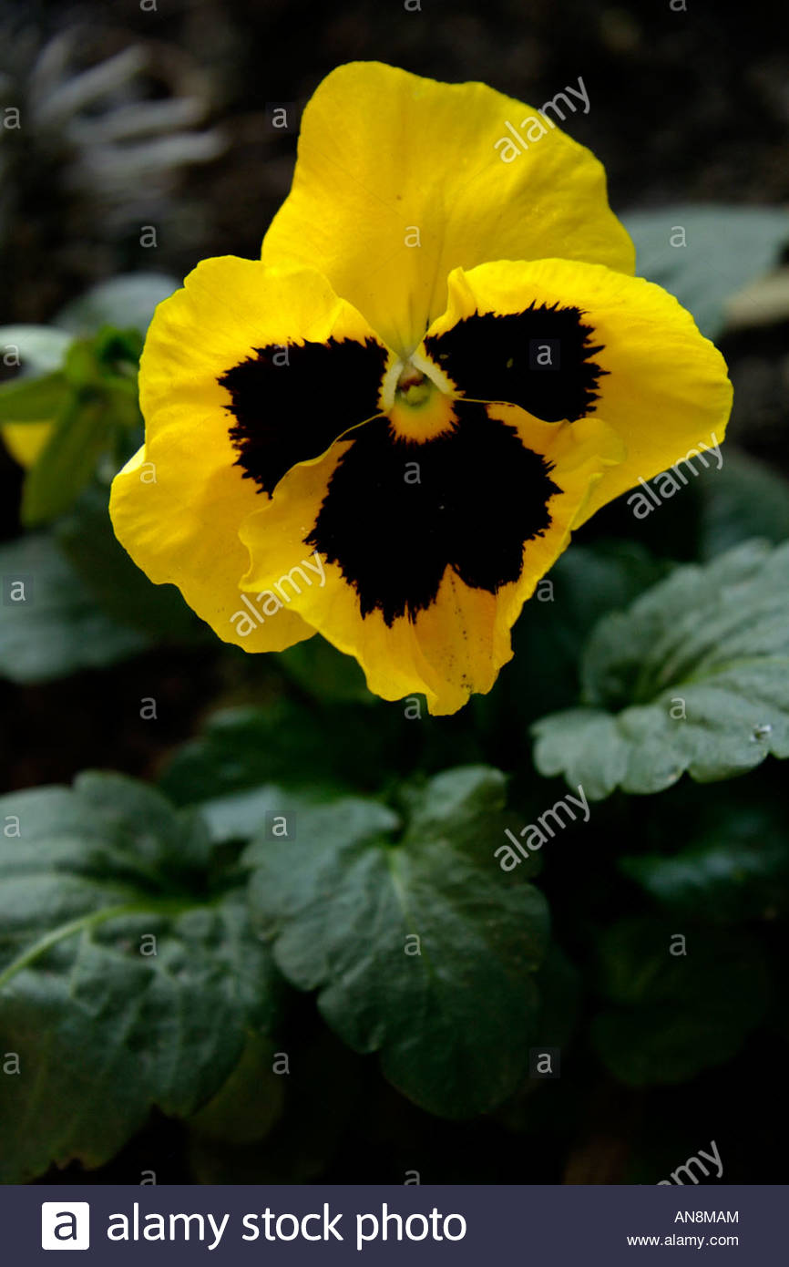 Yellow Pansy Flower - Stock Image