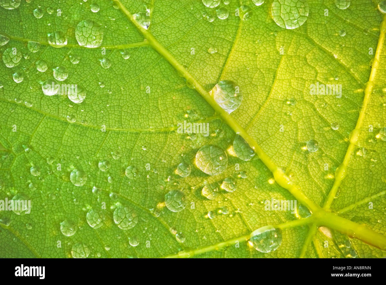 Water droplets on a leaf in the New Forest, Hampshire, UK Stock Photo