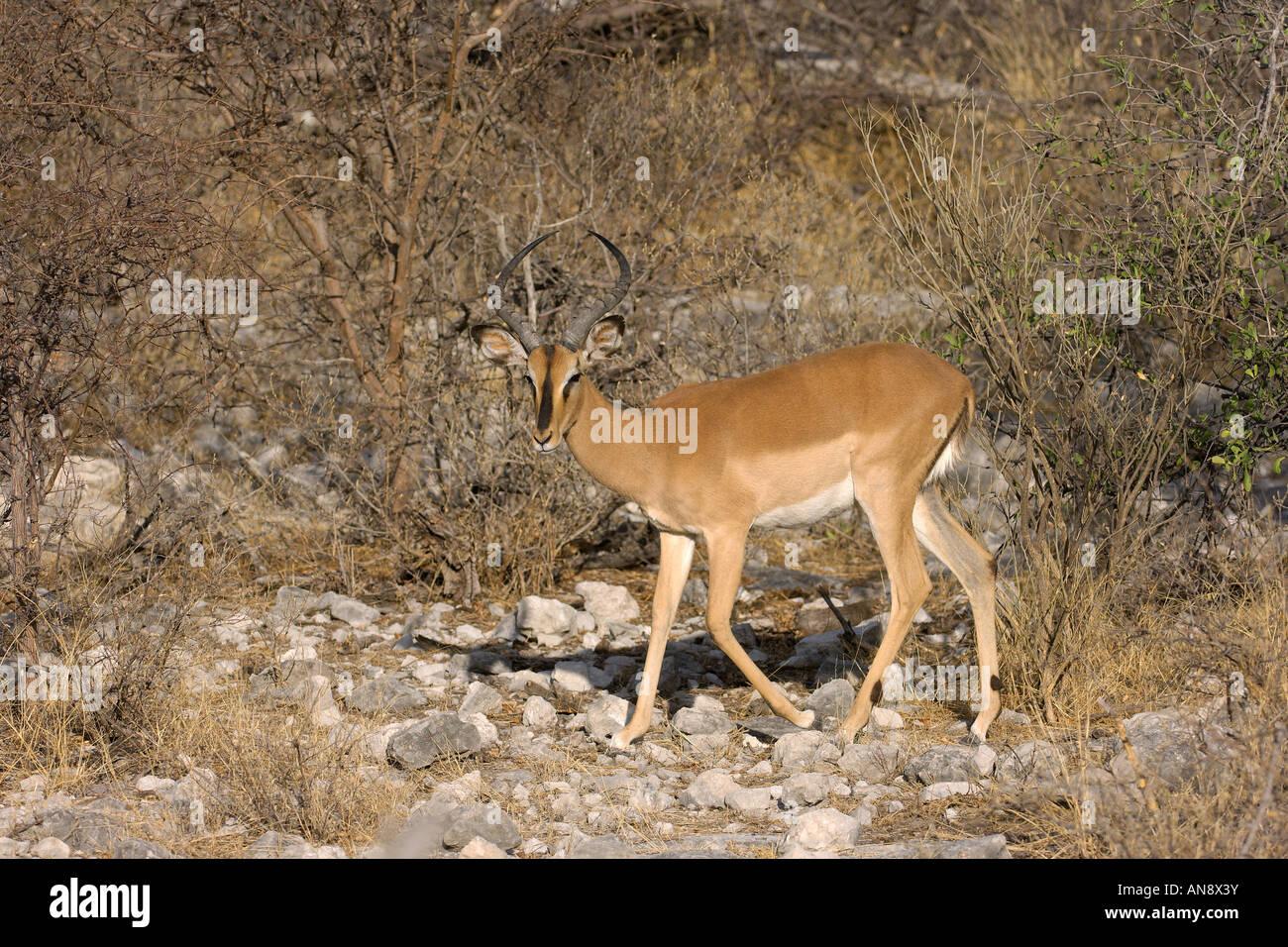 Black faced impala Aepyceros melampus petersi male Etosha National Park Namibia November Stock Photo