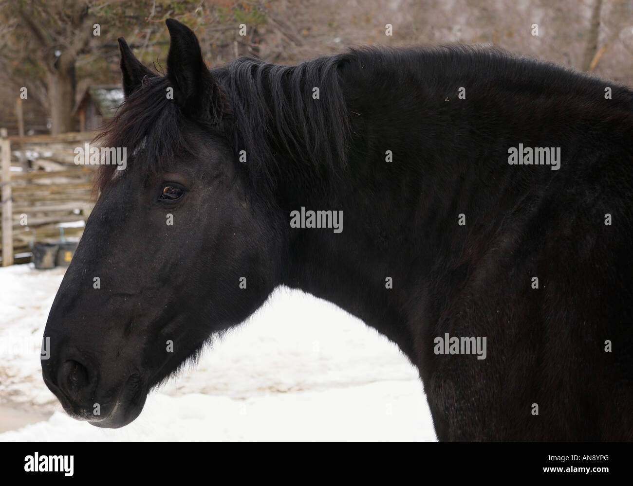 Close Up Of A Black Clydesdale Horse Head At Black Creek Pioneer Stock Photo Alamy