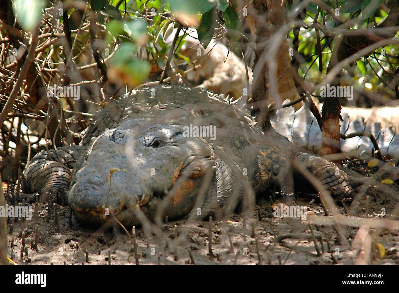 Horizontal close up of a large saltwater crocodile hiding in the undergrowth on a river bank. Stock Photo