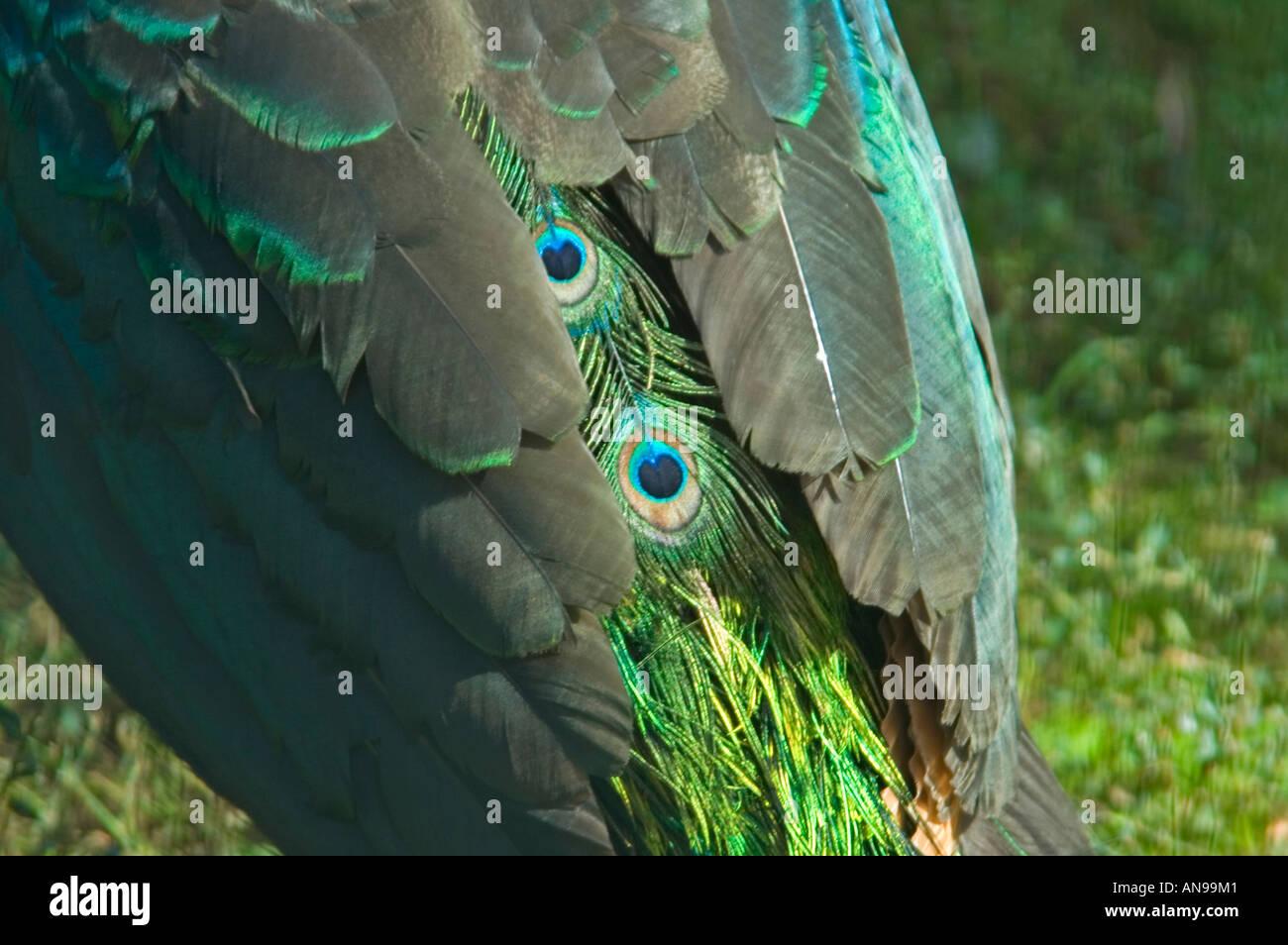 Horizontal close up of the amazing iridescent colour of the plumage of a male Green Peafowl [pavo muticus] glistening - Stock Image