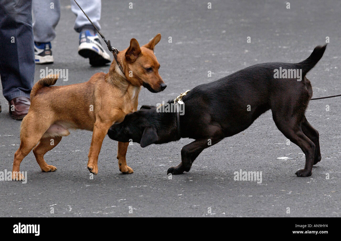 Dogs meet in the street Stow on the Wold The Cotswolds United Kingdom - Stock Image