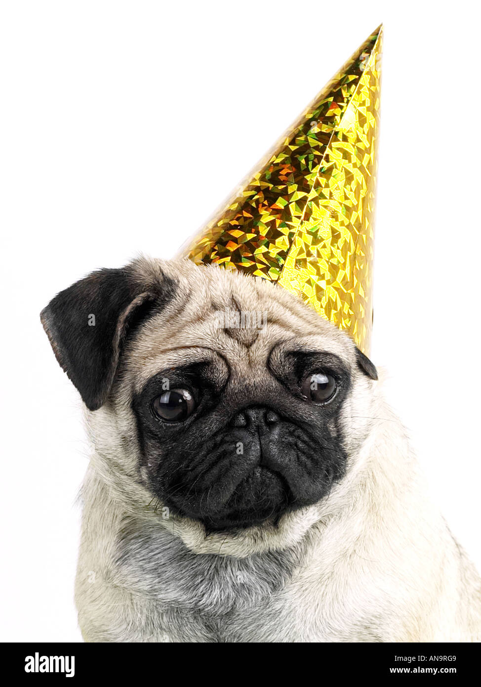 A pug wearing a party hat, being a party animal but looking unhappy. Stock Photo
