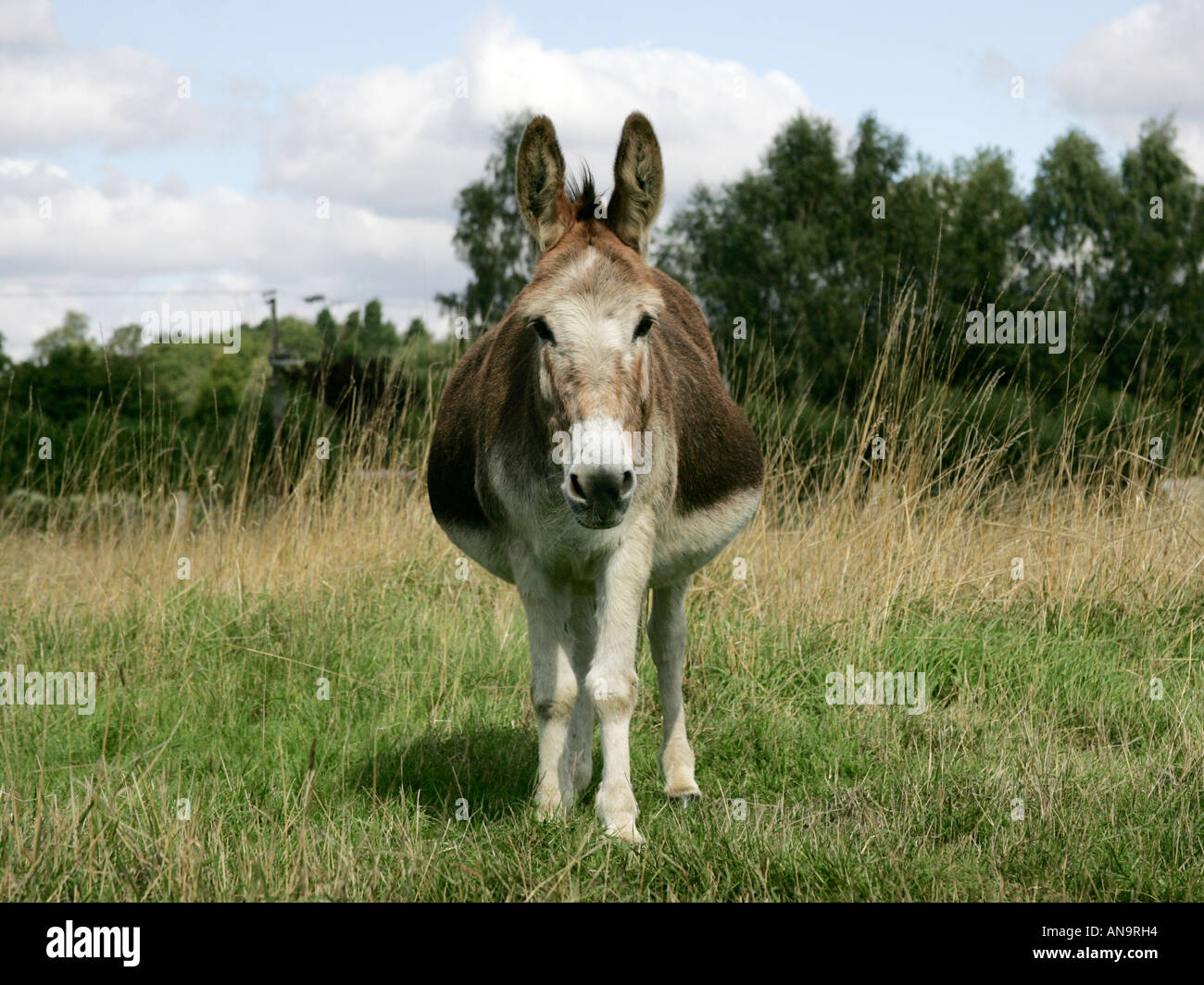 a large fat overweight donkey stock photo 8833619 alamy