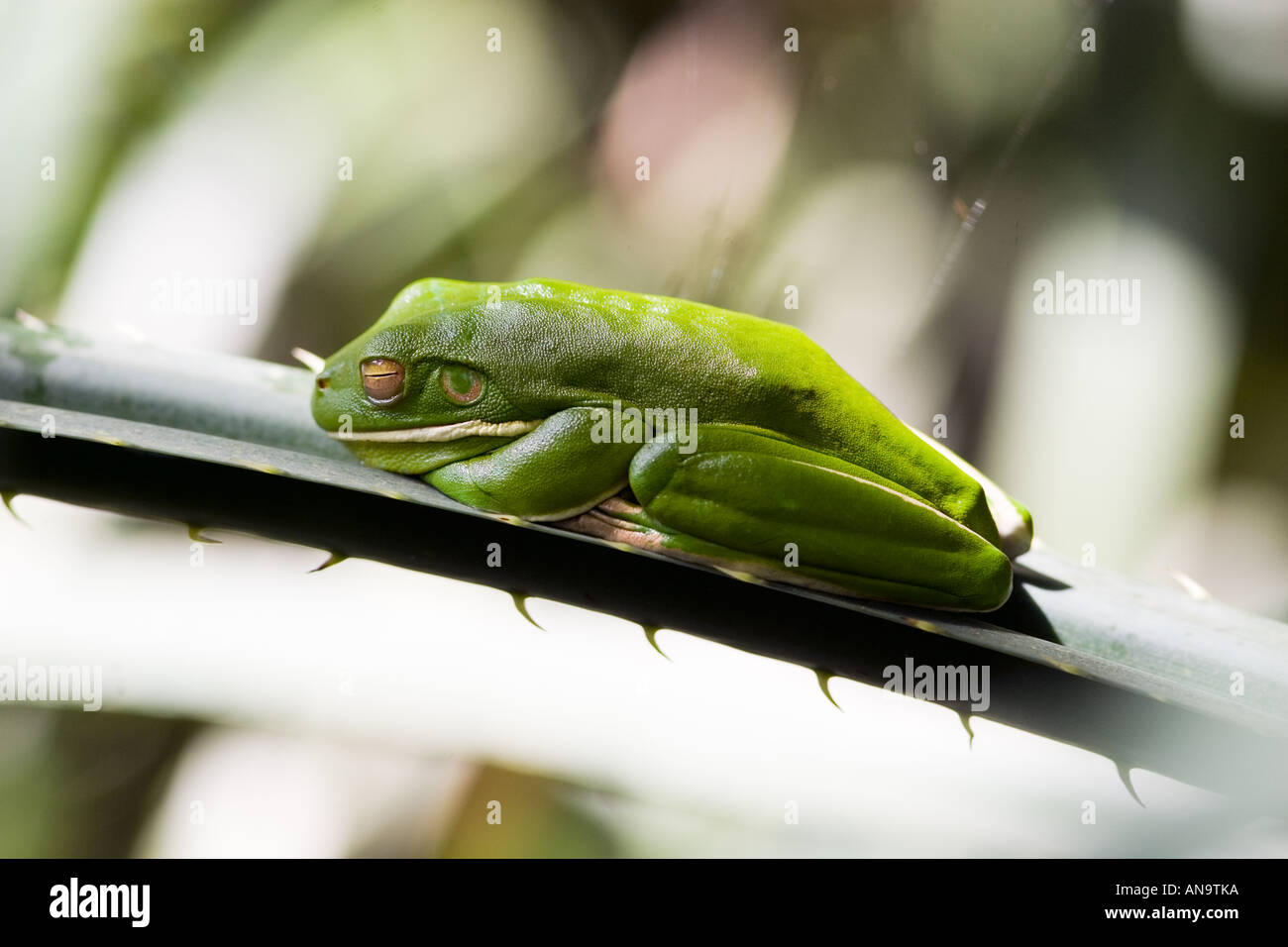 White Lipped Green Tree Frog on palm leaf Daintree Rainforest Queenland Australia - Stock Image