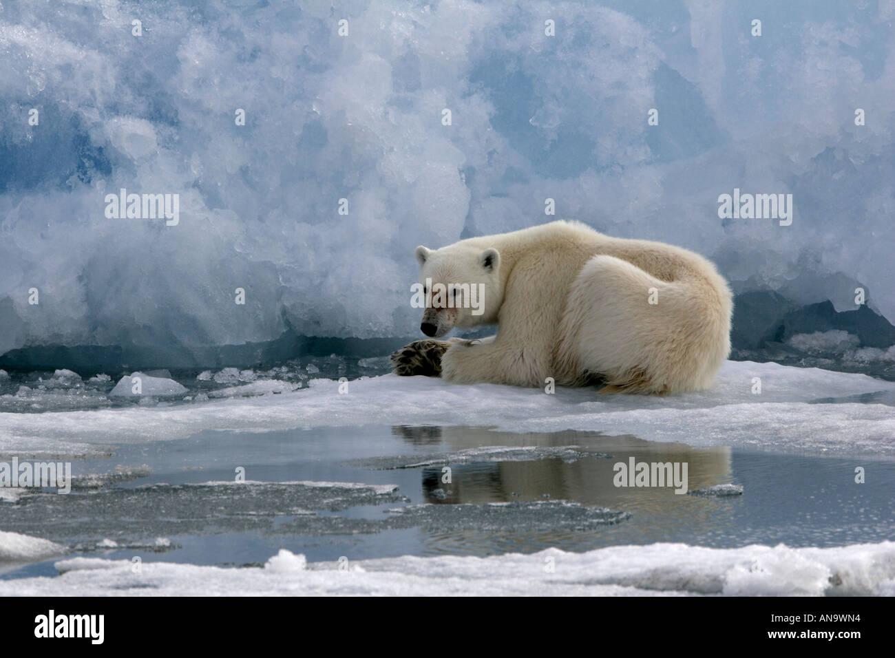 Polar Bear - Stock Image