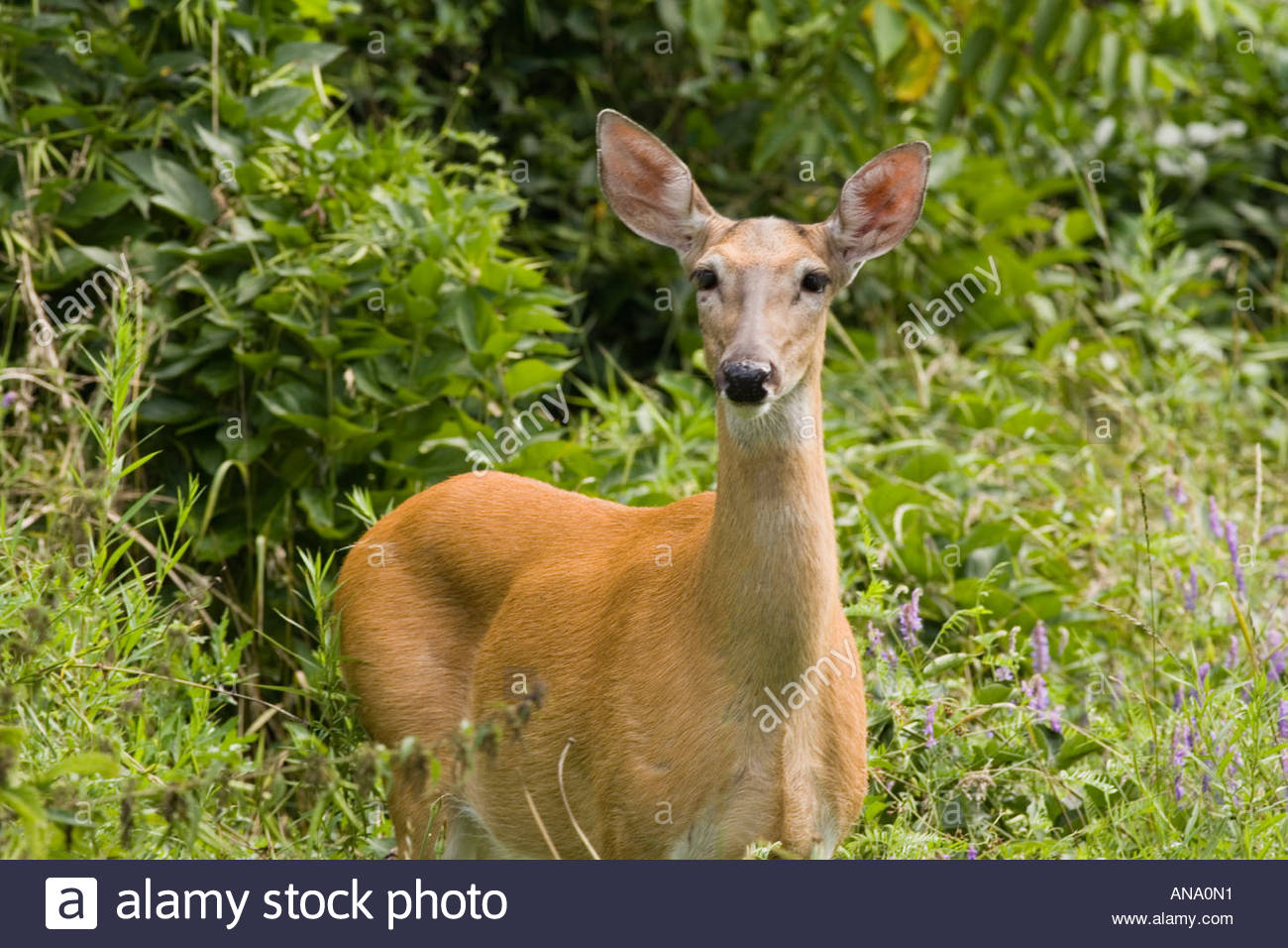 A wild white tail deer in a city park made over by the Toronto Waterfront Naturalization Initiative in Toronto Ontario Canada - Stock Image