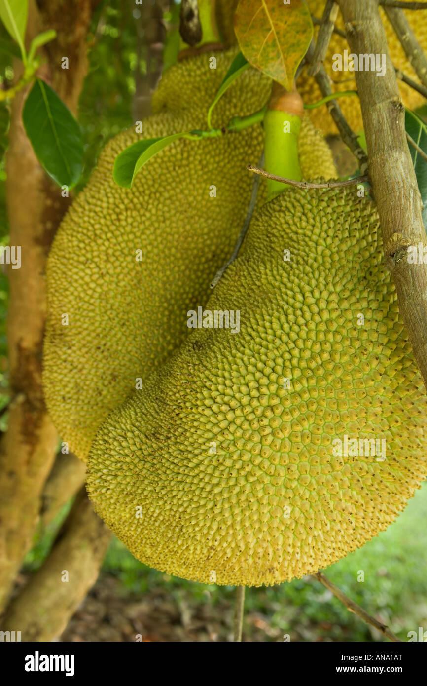 Jackfruit growing on branch. - Stock Image