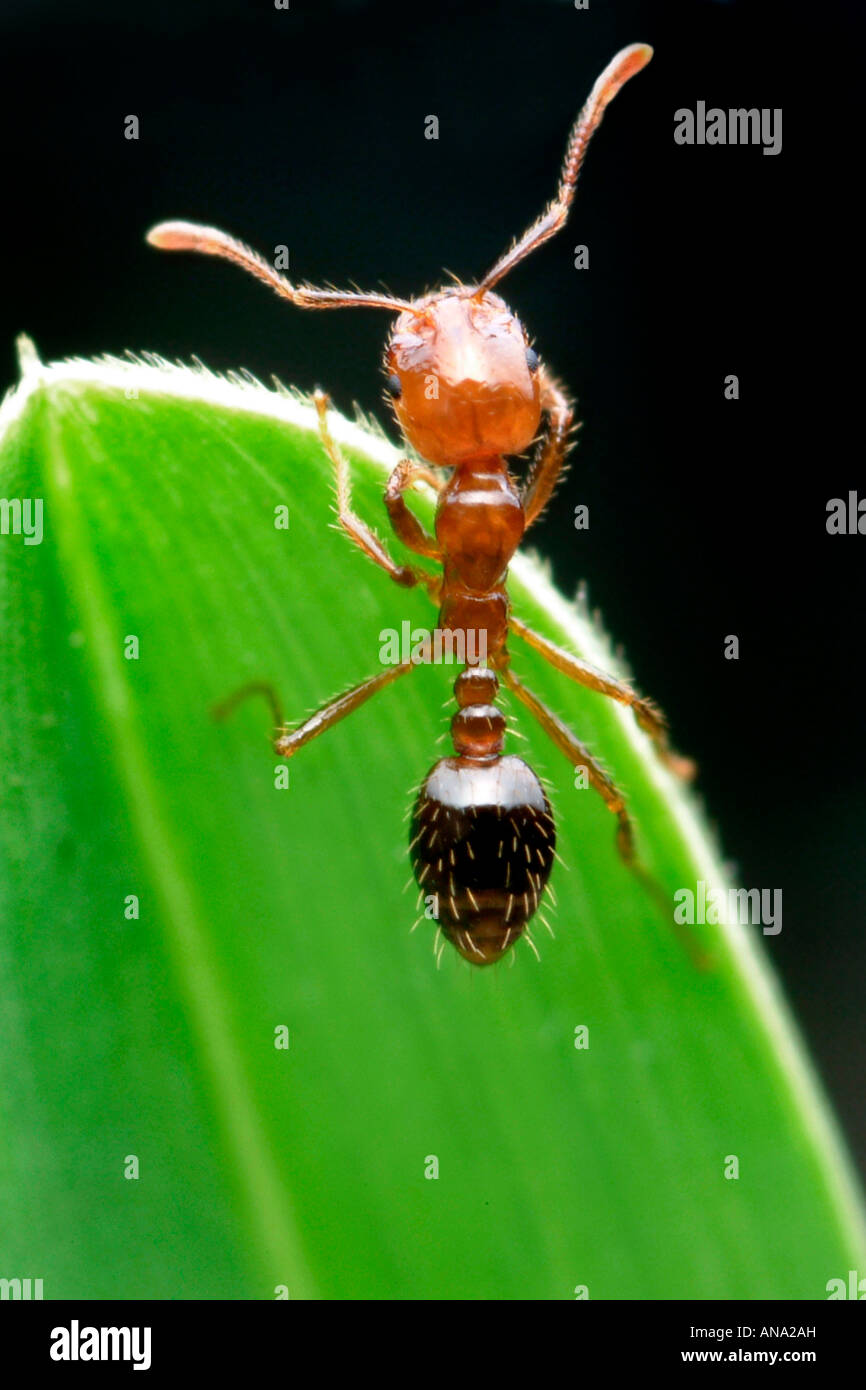 Red fire ant Solenopsis invicta insect sting bite - Stock Image