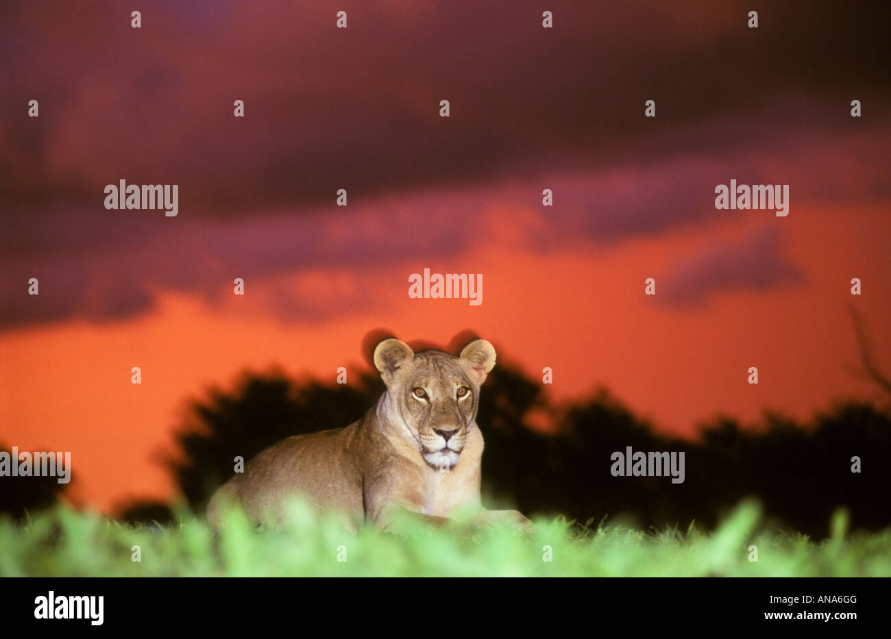 A Lion at sunset on Savuti marsh (Panthera leo) Stock Photo