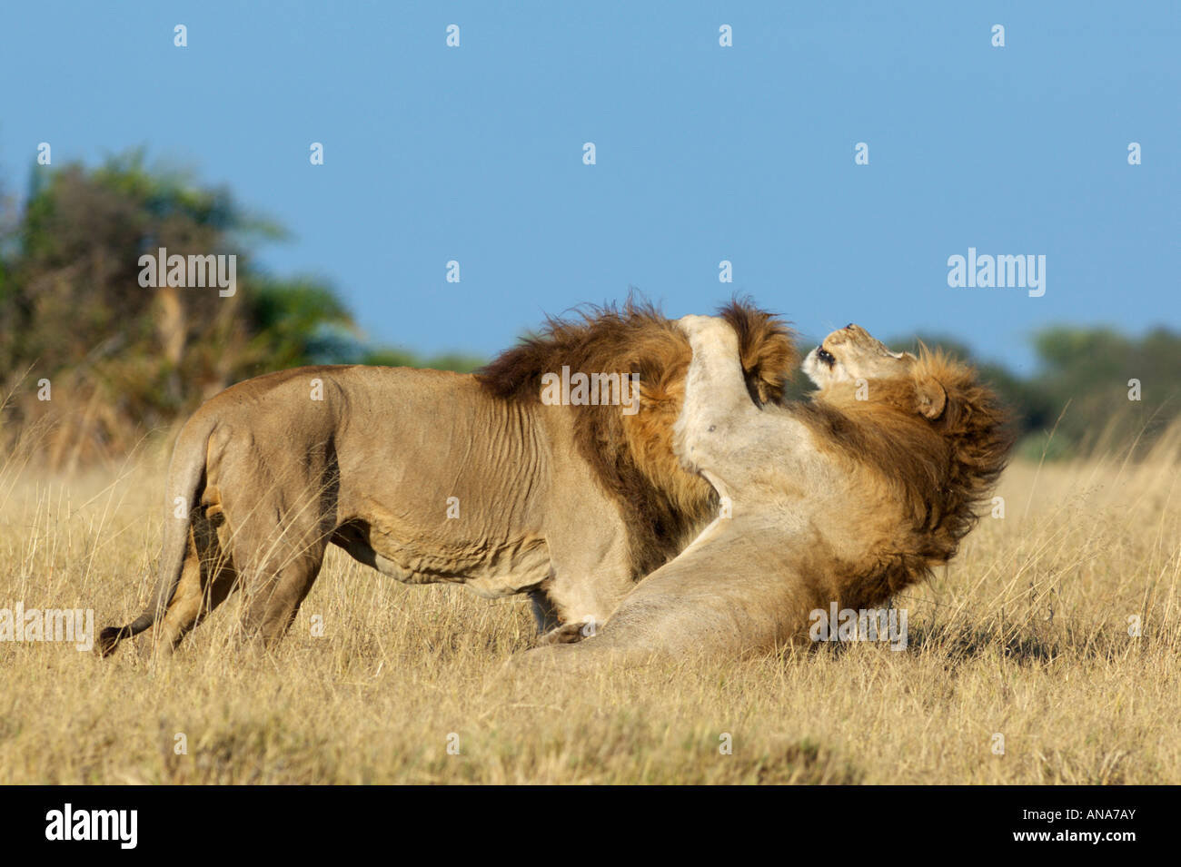 Two male lions play-fighting - Stock Image