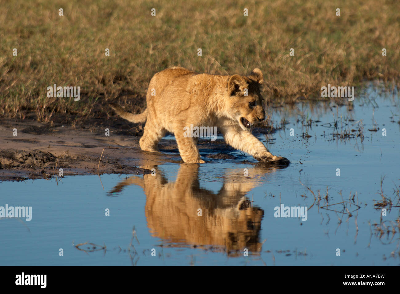 Lion cub snarling as it  tentatively walking into shallow water to cross a small stream - Stock Image