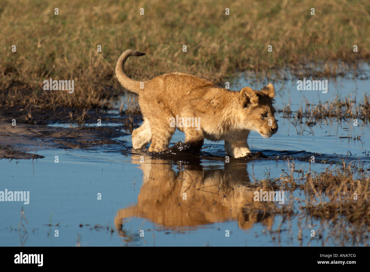 Lion cub walking tentatively into shallow water to cross a small stream - Stock Image