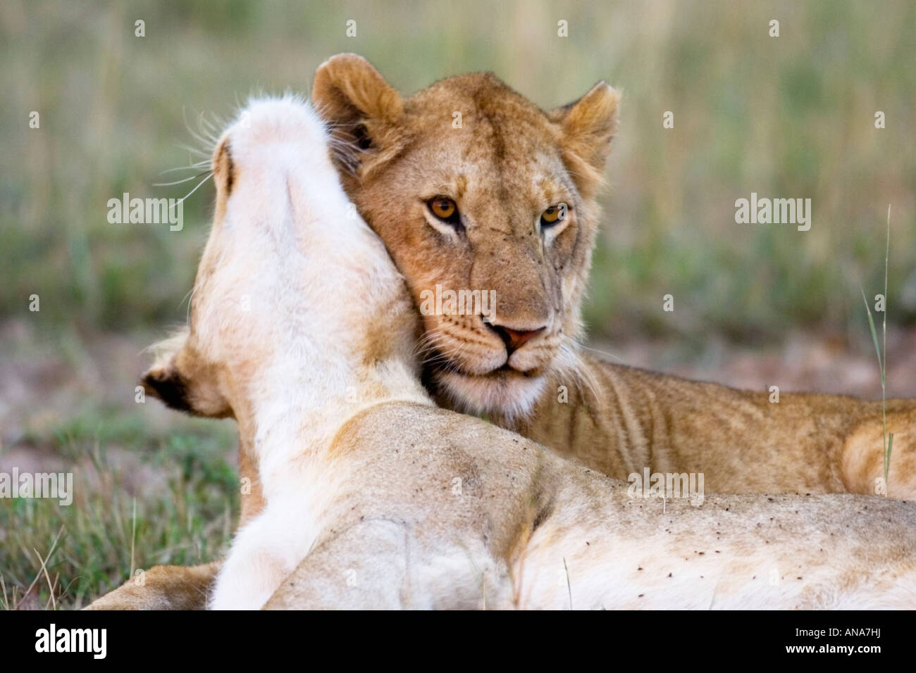 Two sub-adult male lions express their affection for each other, part of the bonding process - Stock Image