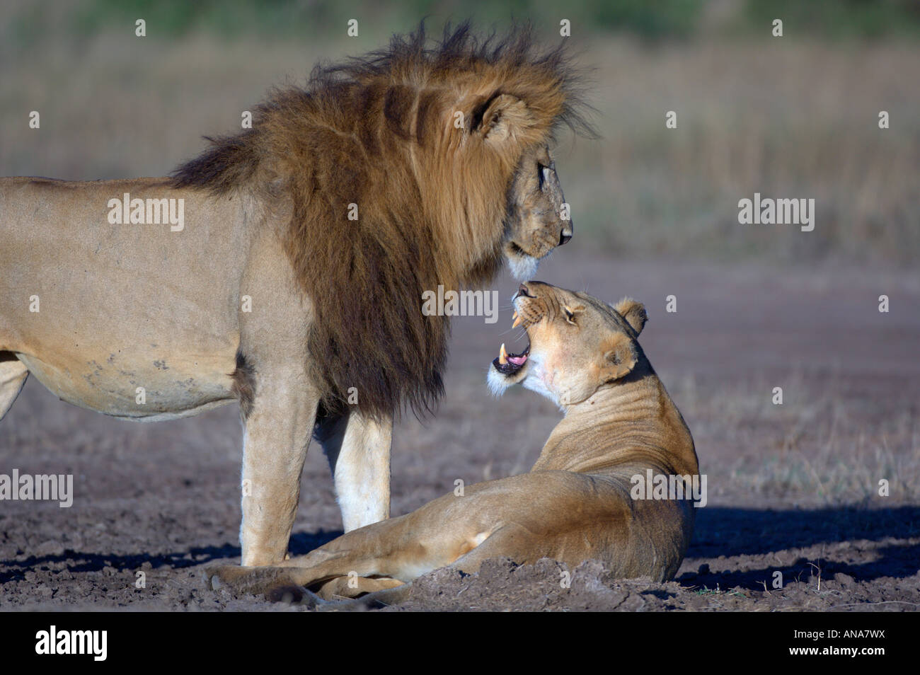 Female lion snarling at a male with a large mane (Panthera leo) - Stock Image