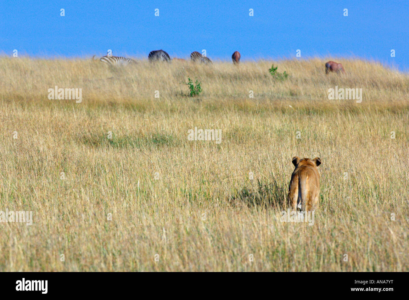 Lion Stalking Zebra Stock Photos & Lion Stalking Zebra ...