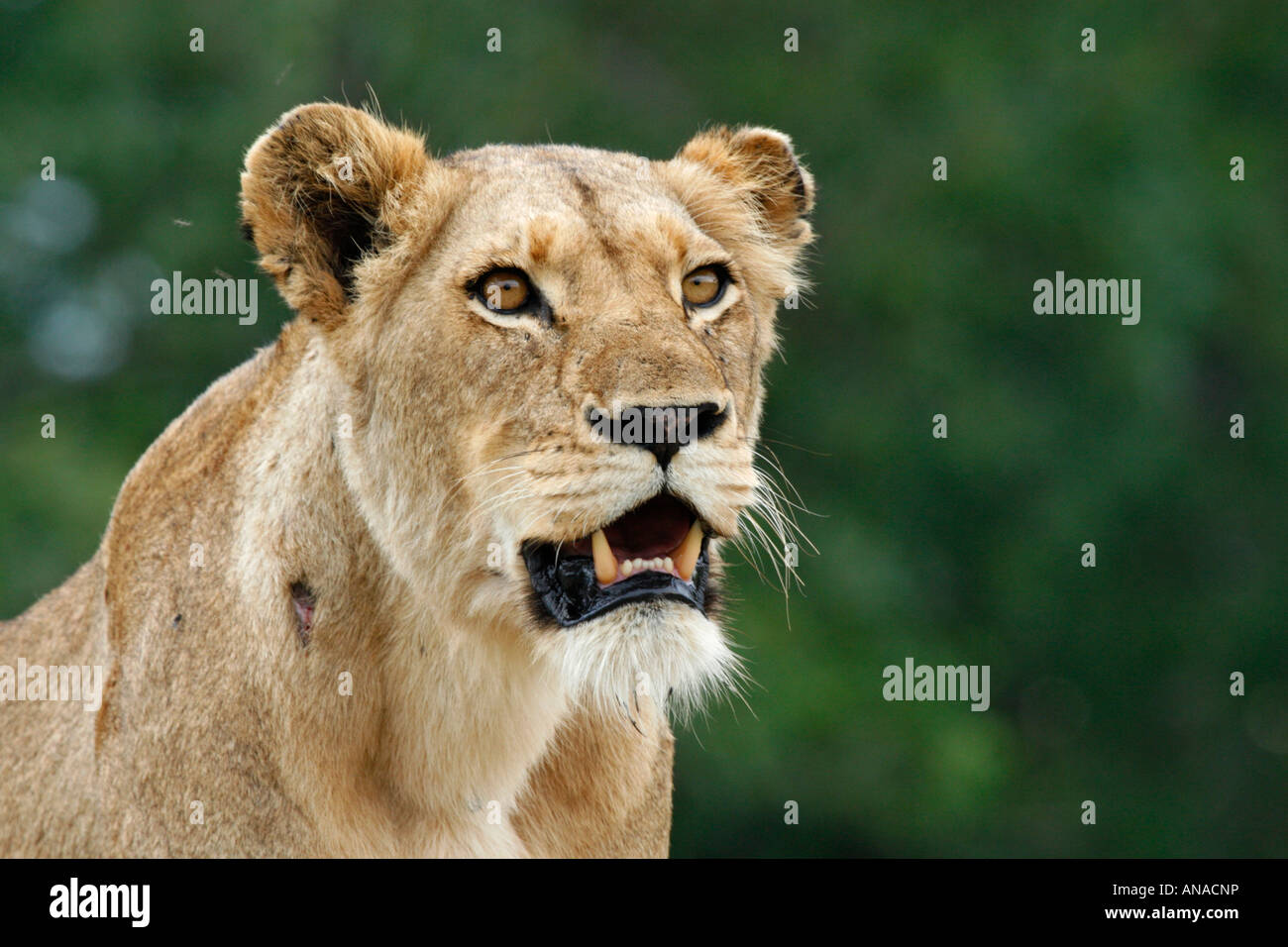 Portrait of a Lioness with mouth open showing sharp teeth - Stock Image