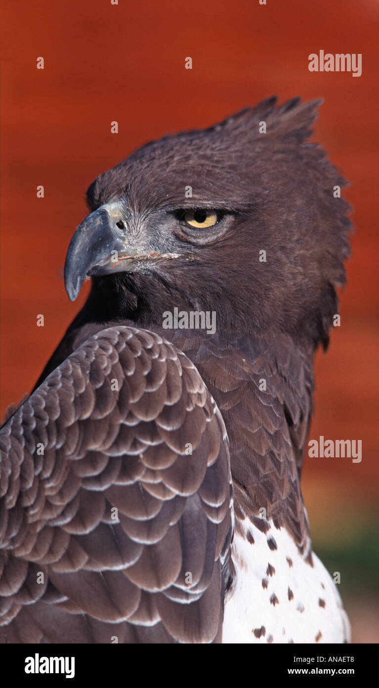Portrait of an Eagle Possibly a Bateleur Eagle Wedge tailed Eagle or Martial Eagle Photographed in South Africa - Stock Image
