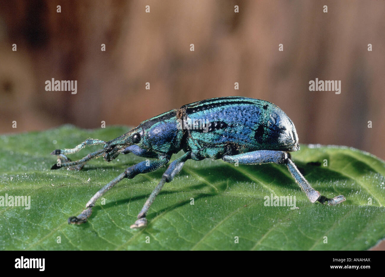 Bupholus (Bupholus spec.), sitting on a leaf, Neuguinea - Stock Image