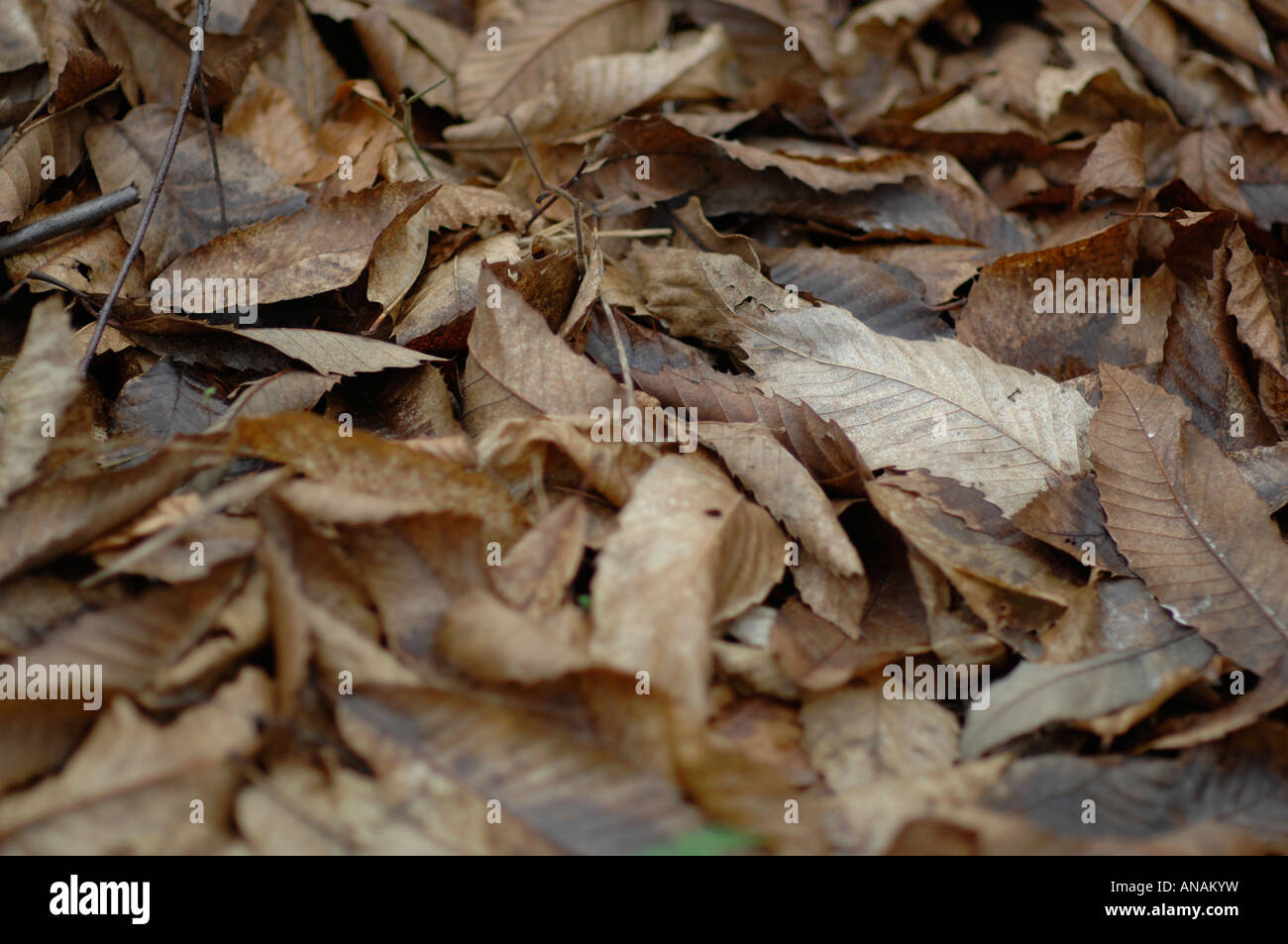 Leaves in winter, Kings Wood, Challock, Kent - Stock Image