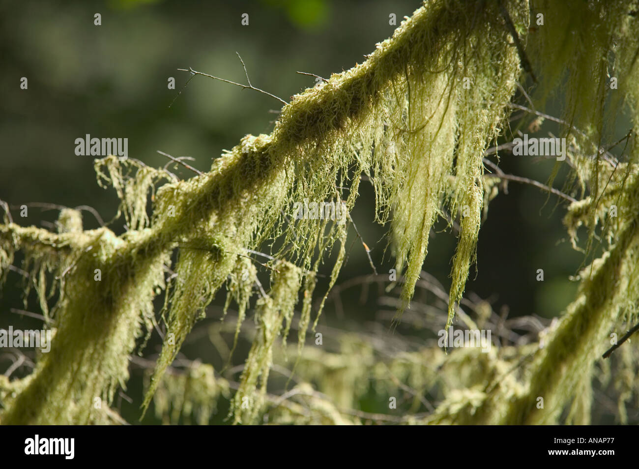 Mosses hanging off an ancient coniferous tree in rainforest around Ward Lake Ketchikan Alaska USA - Stock Image