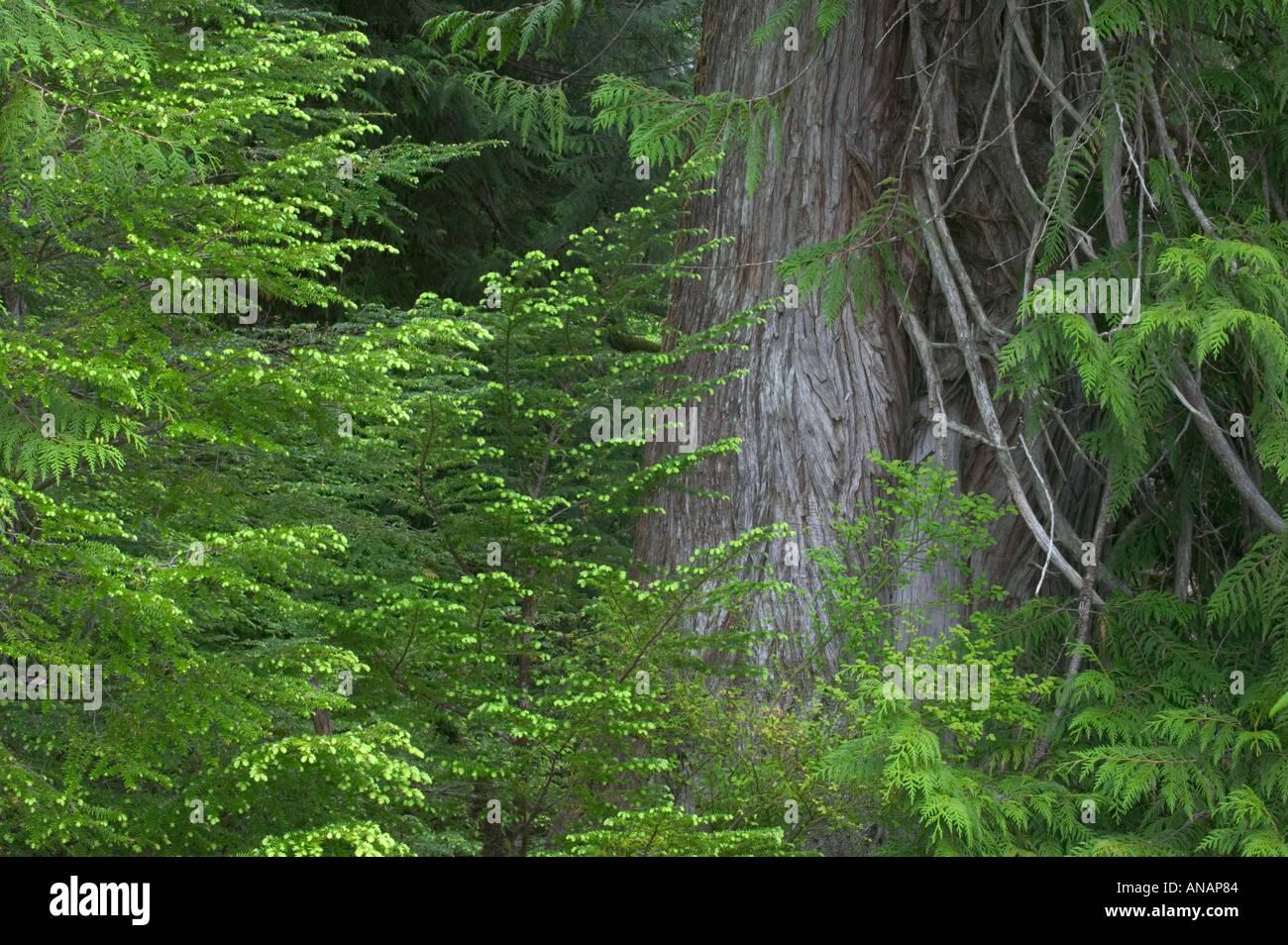 Temperate rainforest Prince of Wales Island Alaska USA - Stock Image