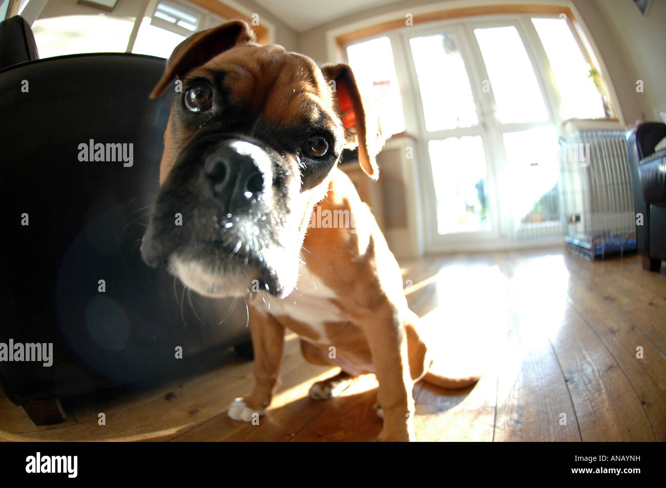 British boxer dog at home looking devoted and loyal. Funny close up view of boxer puppy breathing hot breath. UK - Stock Image