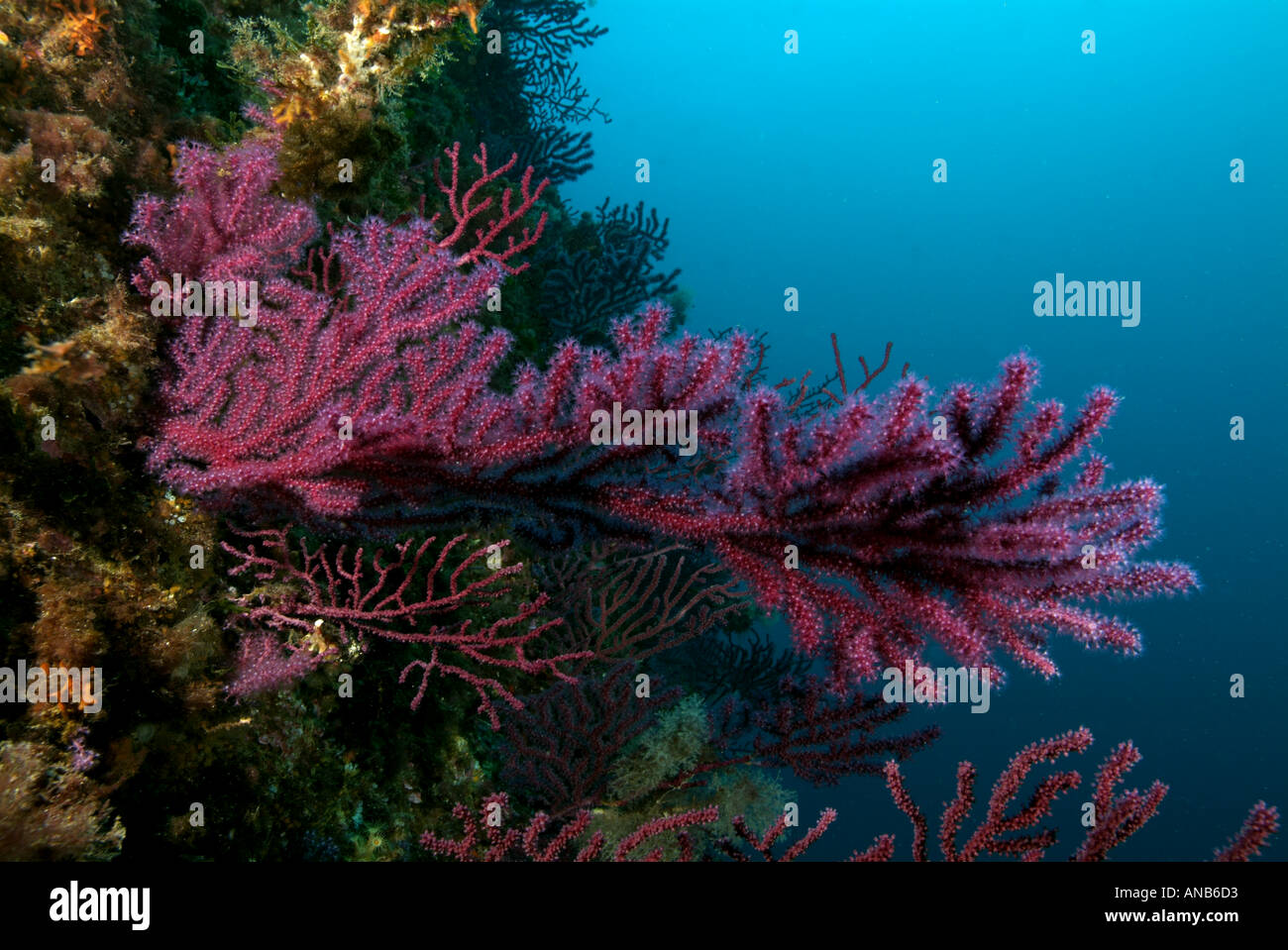 Coral : Red gorgonian - Alcyonium palmatum on a coral reef, Caramasaigne, Riou Island, France. - Stock Image