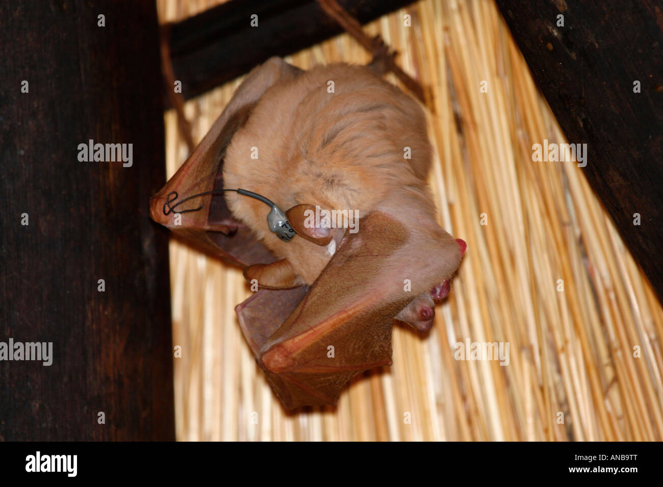 Tracking Transmitter Stock Photos Epauletted Fruit Bats Fitted With A Micro Image