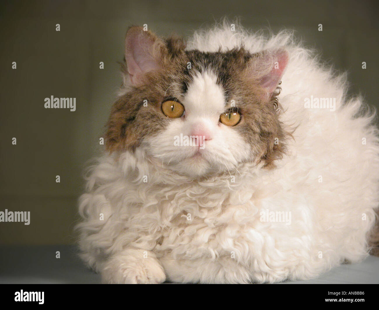 Selkirk Rex Breed Of Show Cat