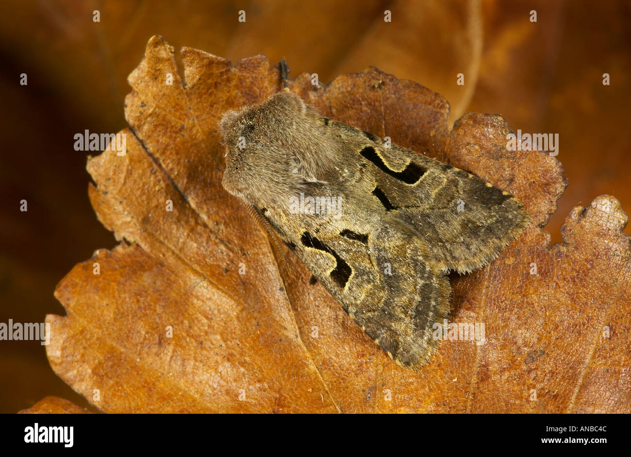 Hebrew Character Orthosia gothica at rest on brown leaves potton bedfordshire - Stock Image
