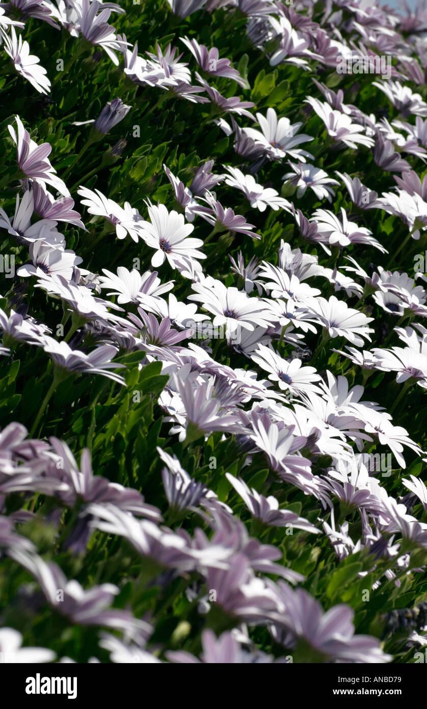 Lilac Daisy Like Flowers Stock Photos Lilac Daisy Like Flowers