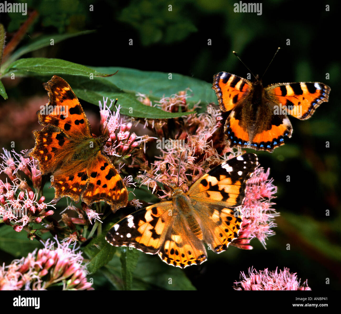 comma , painted lady and small tortoiseshell on flower / Nymphalis c-album Cynthia cardui Aglais urticae - Stock Image