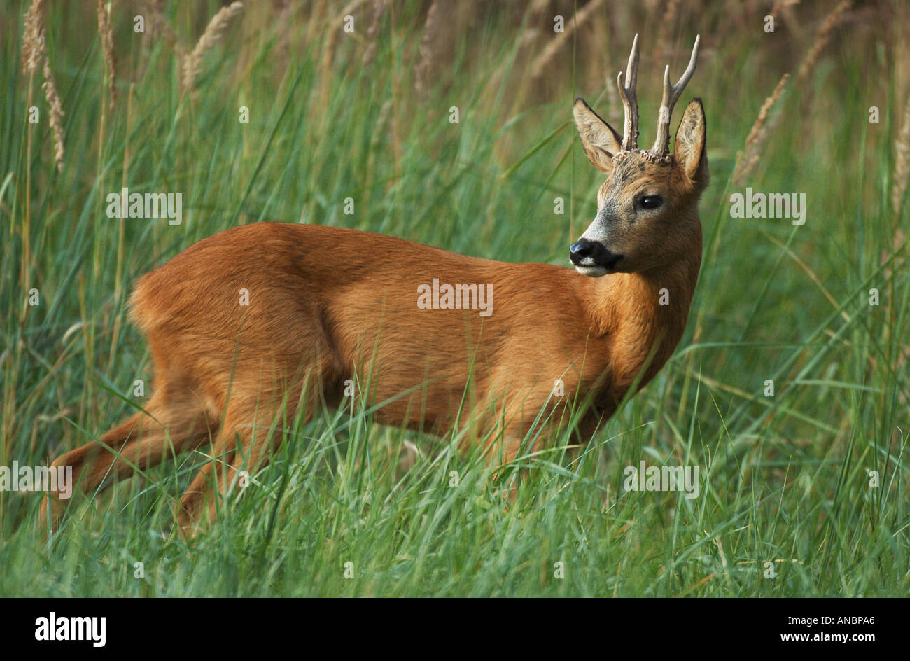 roebuck - standing on meadow / Capreolus capreolus - Stock Image