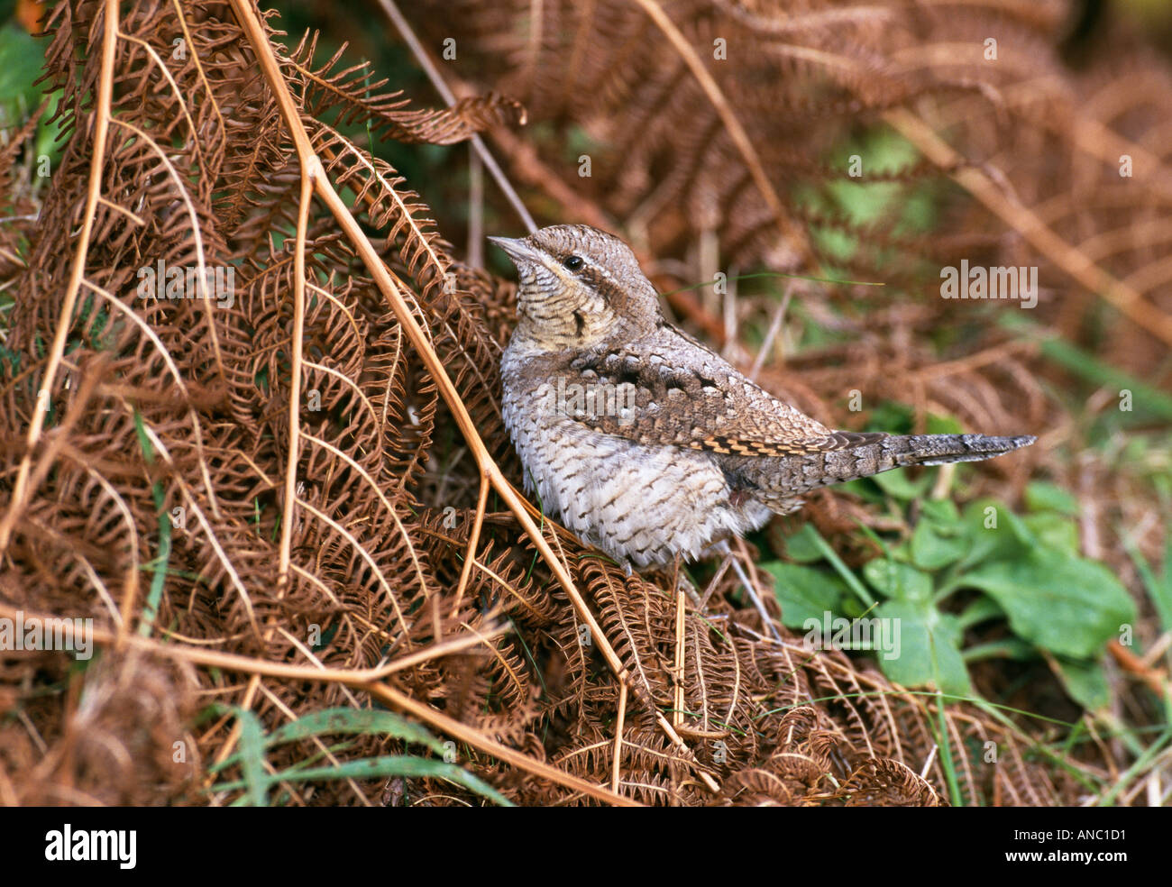Wryneck Jynx torquilla migrant Isles of Scilly October - Stock Image