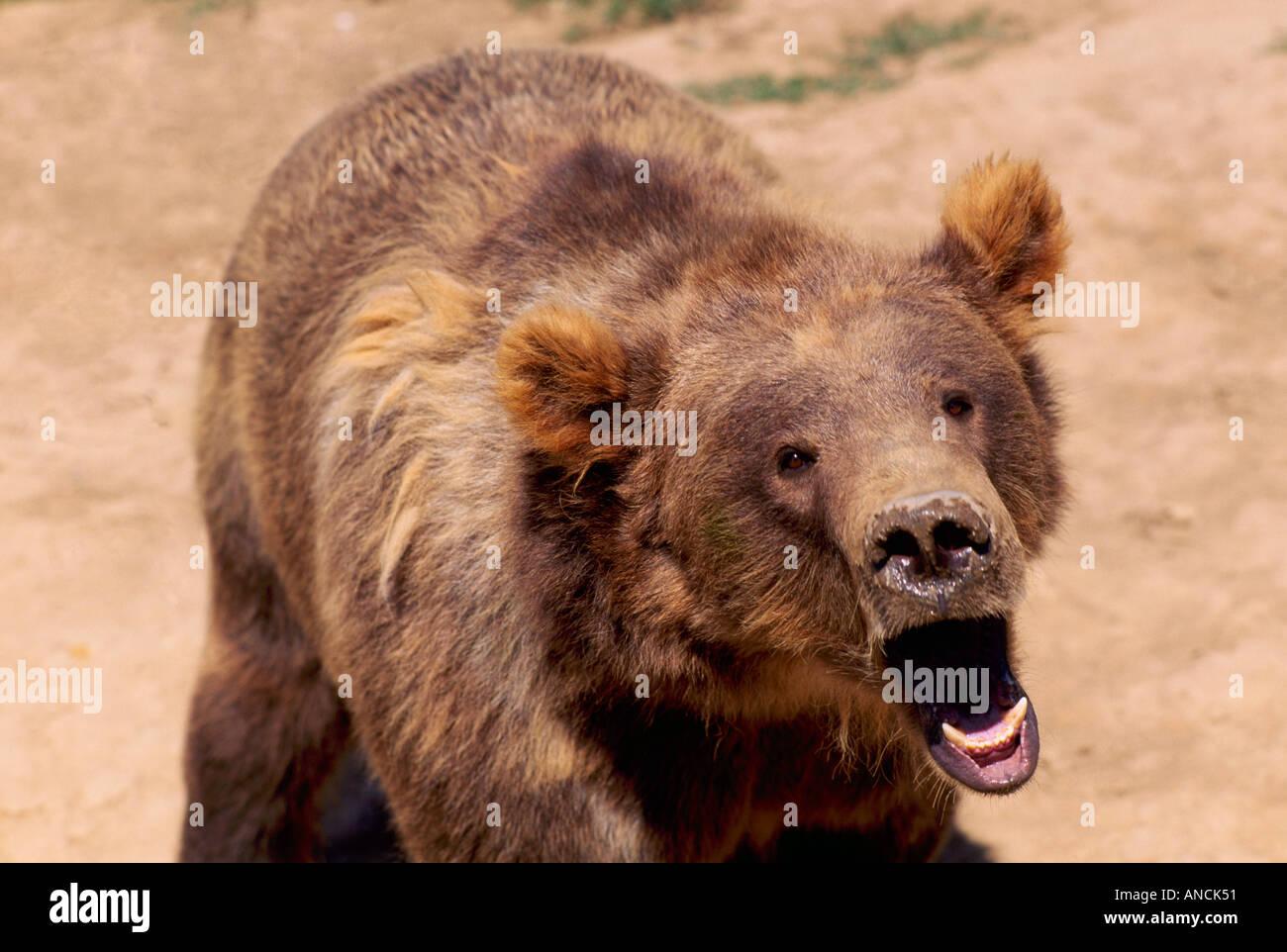 Kodiak Bear aka Alaskan Grizzly Bear and Alaska Brown Bear (Ursus arctos middendorffi) yawning - North American Stock Photo
