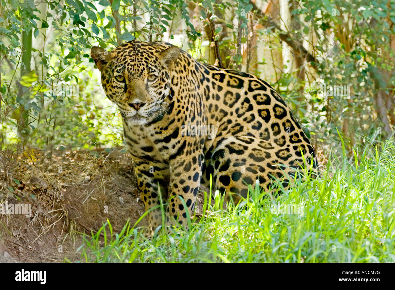 Jaguar San Antonio >> Jaguar Panthera Onca San Antonio Zoo Texas United States 26